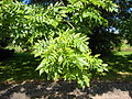 Fraxinus excelsior leaves.jpg
