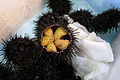 Fresh Sea Urchin (2678940158).jpg