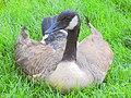 Friendly Goose (166810839).jpeg