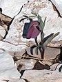 FritillariaTubiformisMdL12.jpg