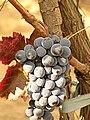 From vineyard Lion Gri - Vulcanesti Lion Gri.jpg