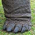 Front foot on Aldabra giant tortoise.JPG