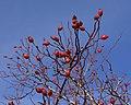 Fruits du Cynorhodon.jpg