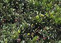 Fruto Vaccinium consanguineum.jpg