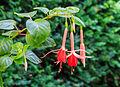 Fuchsia 'Helena' 01.jpg