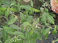 Fuchsia paniculata0
