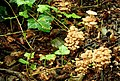 Fungus, Crawfordsburn Glen (7) - geograph.org.uk - 904616.jpg