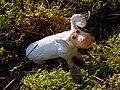 Funny sheep (344343297).jpg