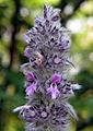 Furry-plant bgiu.jpg