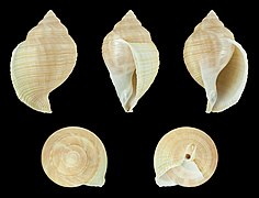 Galeodea echinophora var. adriatica 01.JPG