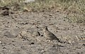 Galerida cristata - Crested Lark, Mersin 2018-09-23 02.jpg