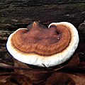 Ganoderma lobatum (Schwein.) G.F. Atk 749455.jpg