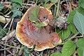 Ganoderma lucidum 4749050.jpg