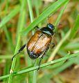 Garden Chafer - Phyllopertha horticola - Flickr - gailhampshire (1).jpg