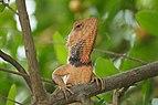 Garden Lizard (Calotes) in village chotian, punjab.jpg
