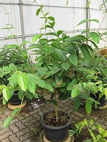 Congea tomentosa wikipedia la enciclopedia libre for Planta ornamental blanca nieves