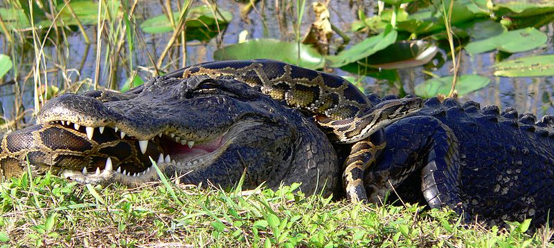 Alligator and Burmese Python