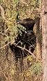 Gaur (Indian Bison) @Satpura Tiger Reserve.jpg