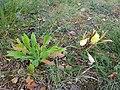 Gele Bloom 1 an'n Bullenbarg bi Nindörp 05.jpg
