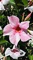 Gentianales - Mandevilla sanderi cultivars - 3.jpg