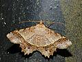 Geometrid Moth (Godonela avitusaria) (15516029019).jpg