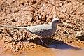 Geopelia cuneata -Pilbara, Western Australia, Australia-8 (1).jpg