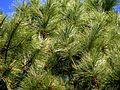 Georgia Pinus elliottii 2.jpg