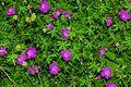 Geraniaceae - Geranium sanguineum-2.JPG