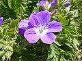 Geranium sylvaticum Dolomiti.jpg