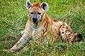 Gevlekte hyena (28444031576).jpg