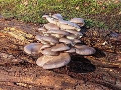 Gewone oesterzwam (Pleurotus ostreatus) 25-12-2020 (d.j.b.) 03.jpg