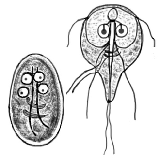 Parasitology - Cyst and imago of Giardia lamblia, the protozoan parasite that causes giardiasis. The species was first observed by Antonie van Leeuwenhoek in 1681