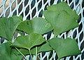 Ginkgo biloba leaves (Celina, Ohio, USA) 3 (49047729837).jpg