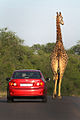 Giraffa camelopardalis -Kruger National Park, South Africa -car-8.jpg