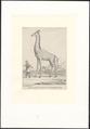 Giraffa camelopardalis - 1750-1790 - Print - Iconographia Zoologica - Special Collections University of Amsterdam - UBA01 IZA1000176.tif