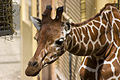 Giraffe (3843234632).jpg