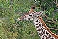 Giraffe feeding, Tanzania wb.jpg