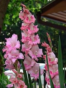 Mečík - Gladiola, foto wikipedia.org