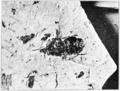 Glossina oligocenus Scudder 1892 PSM V73 D121.png