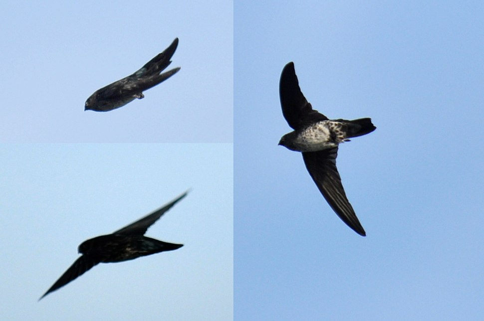 Glossy Swiftlet collage