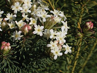 <i>Gnidia</i> Genus of flowering plants