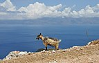 Goat at the Kissamos Gulf in Crete 001.jpg