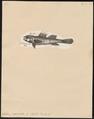 Gobius paganellus - 1700-1880 - Print - Iconographia Zoologica - Special Collections University of Amsterdam - UBA01 IZ13600051.tif