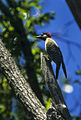 Golden-breasted Woodpecker - Argentina 96 0011 (15790446213).jpg