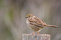 Golden-crowned Sparrow (immature) (25934883307).jpg