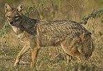Golden Jackal at Rajkot 2 (cropped).jpg
