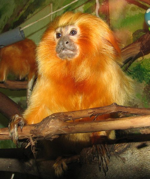 Liberty-Mudd-Animals - Golden Lion Tamarin