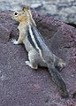 Golden mantled ground squirrel Oregon.JPG