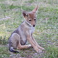 Gpa bill coyote pup 2.jpg