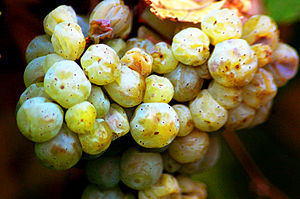Grüner Veltliner grapes from Austria